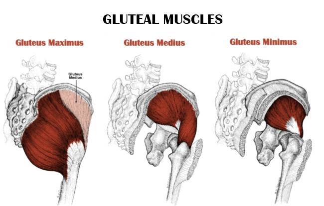 the trio of gluteal muscles