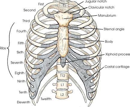 Ribcage anatomy